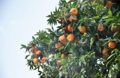 Orange tree in the streets of Rome. Italy Stock Photo