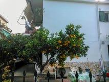 Orange tree. In the suburbs of Corfu Stock Images