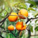 Orange tree in summer Stock Image