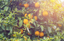 Orange tree in sunset Royalty Free Stock Photos