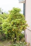 Orange tree in Tellaro, ligurian coast, Liguria, Italy Royalty Free Stock Image