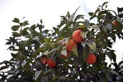 Orange tree. In Thessaloniki, Greece Stock Photography