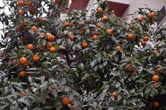 Orange tree. In Thessaloniki, Greece Royalty Free Stock Image