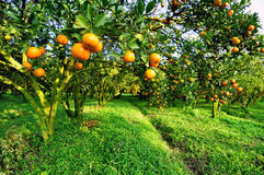 The  Orange-tree Stock Photos
