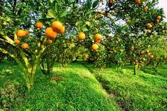 The  Orange-tree. The  Orange trees in Chiangmai  Thailand Stock Photos