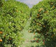 Orange tree Royalty Free Stock Image