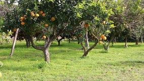 Orange tree stock video