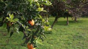 Orange tree stock footage