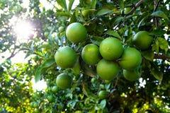 Orange tree with unripe fresh oranges. Selective focus Royalty Free Stock Images
