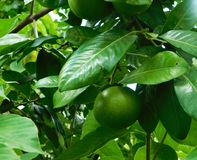 Orange tree with unripe fruits Royalty Free Stock Photos