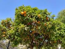 Orange tree in Valencia`s spring time. Orange tree  in a urban garden from Valencia city in Spain Stock Photos