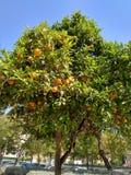 Orange tree in Valencia`s spring time. Orange tree in a urban garden from Valencia city in Spain Royalty Free Stock Image