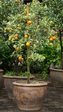 Orange tree in vase01 Stock Photos