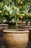 Orange tree in vase02. Orange tree seeding in the vase Stock Photos