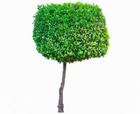 Green tree. Orange Tree on white background Royalty Free Stock Images