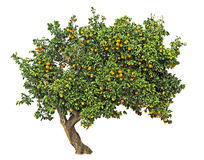 Orange tree on white Stock Image