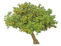 Orange tree on white Stock Images