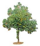 Orange tree on white Royalty Free Stock Image