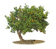 Orange tree on white Royalty Free Stock Photography
