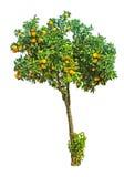 Orange tree on white background Stock Images