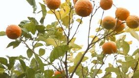 Orange tree white sky handheld stock video