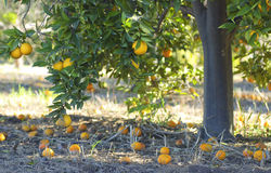 Orange tree in a wild garden Royalty Free Stock Images