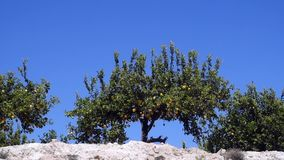 Orange tree in the wind. Video at 50fps in Spanish orchard stock video