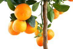 Orange on tree - zoom. Small mandarin tree isolated on white Stock Photos
