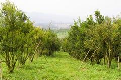 Orange trees Stock Image