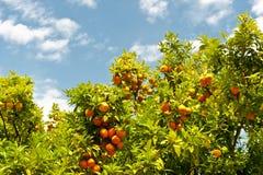Orange trees Royalty Free Stock Photography