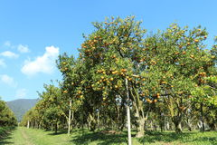 Orange trees Royalty Free Stock Image