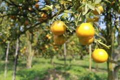 orange trees Royaltyfri Bild