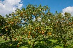 Orange trees Stock Photography