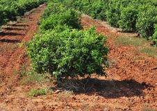 Orange trees Stock Image