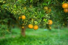 Free Orange Trees Stock Photo - 65898140