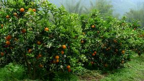Orange trees Stock Photography