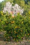 Orange trees and almond blossom Stock Photos