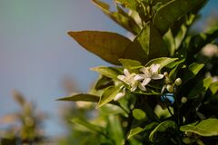 Orange trees in bloom. Orange blossom Mediterranean