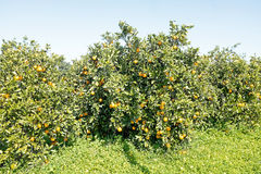 Orange trees in the countryside from Portugal Stock Photo