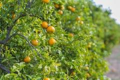 Orange trees. royalty free stock photo