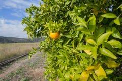 Orange trees. stock images