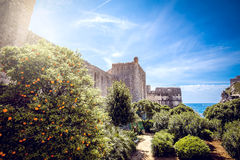 Orange trees in Dubrovnik Royalty Free Stock Photo
