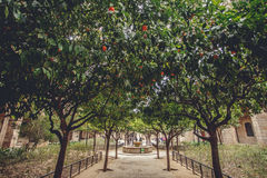 Orange Trees at Europa, Barselona, Spain. Old Building in Barcelona, Spain Stock Photography