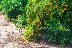 Orange trees with fruits Royalty Free Stock Photography