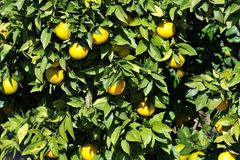 Orange trees with fruits Royalty Free Stock Images
