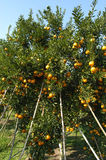 Orange trees with fruits Royalty Free Stock Photos