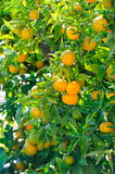 Orange trees with fruits Stock Photography