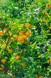 Orange trees with fruits Royalty Free Stock Photo