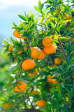 Orange trees with fruits Stock Photos
