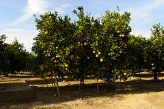 Orange trees with fruits on plantation Royalty Free Stock Image